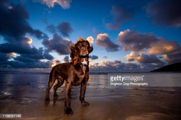 a portrait of a dog on the beach - spaniel stock pictures, royalty-free photos & images
