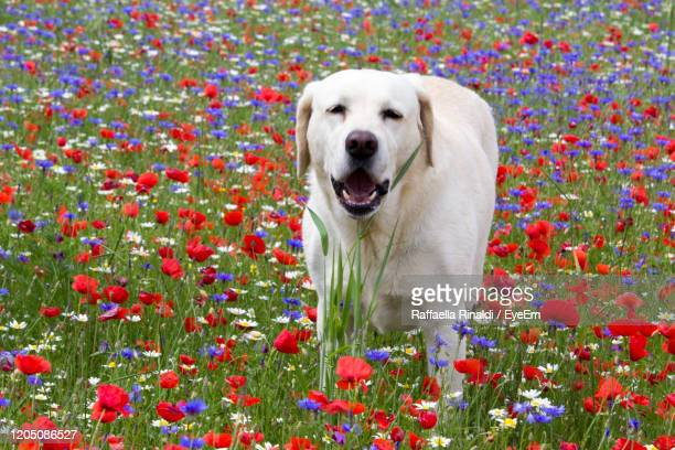 portrait of a dog - castelluccio stock pictures, royalty-free photos & images