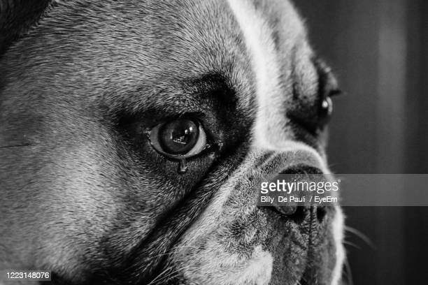 portrait of a dog - bulldog frances imagens e fotografias de stock