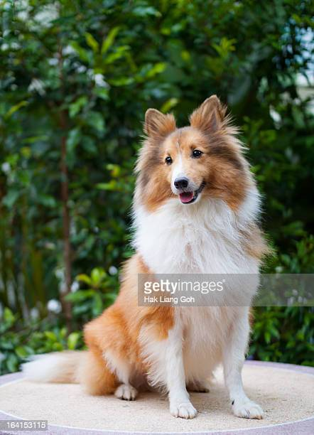 portrait of a dog - collie stock pictures, royalty-free photos & images