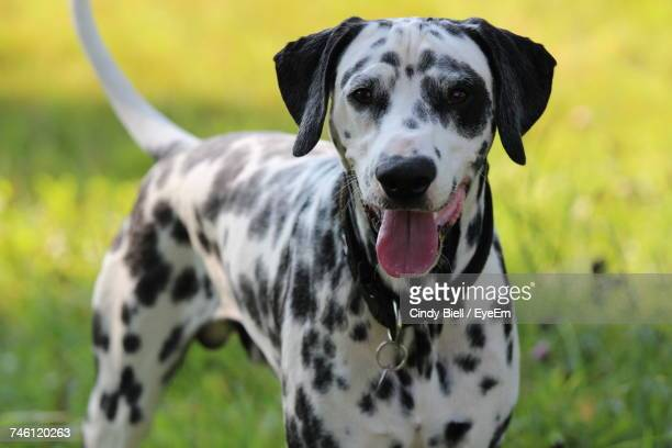 portrait of a dog - dalmatian dog stock pictures, royalty-free photos & images