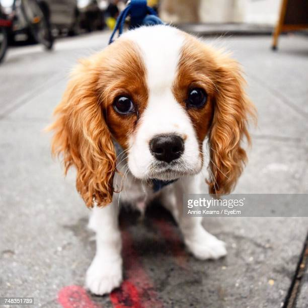 portrait of a dog - cavalier king charles spaniel stock pictures, royalty-free photos & images