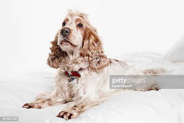 portrait of a dog - spaniel stock pictures, royalty-free photos & images