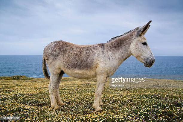 portrait of a donkey standing in field, tarifa, cadiz, andalucia, spain - donkey stock pictures, royalty-free photos & images