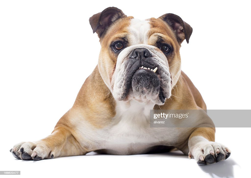 Portrait of a English Bulldog : Stock Photo