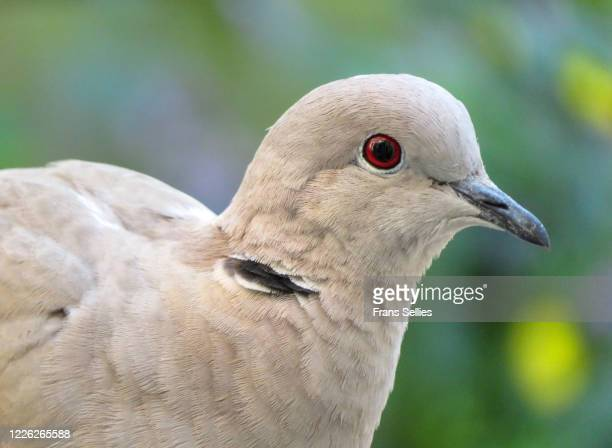 portrait of a eurasian collared dove (streptopelia decaocto) - frans sellies stockfoto's en -beelden