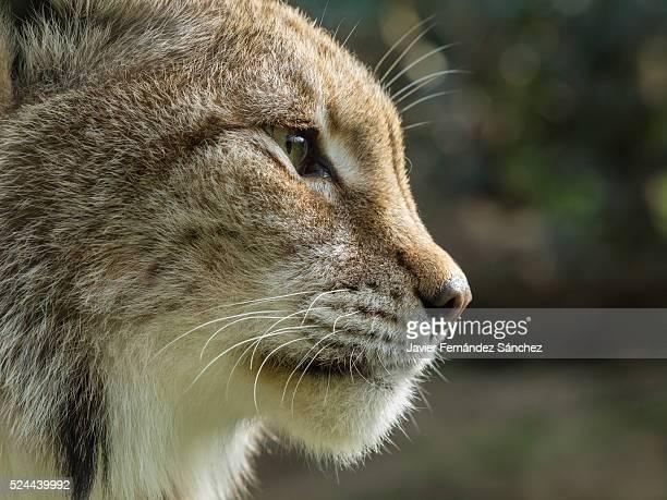 Portrait of a eurasian lynx. Lynx lynx.
