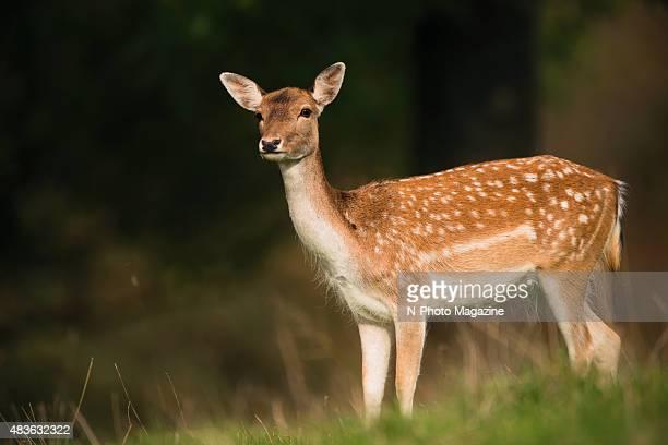 fallow deer ストックフォトと画像 getty images