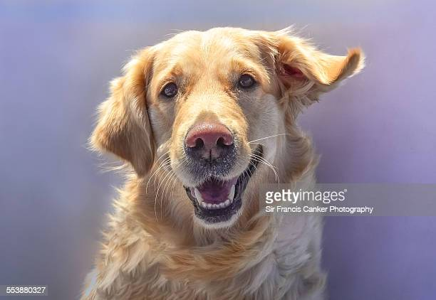 portrait of a fearful female golden retriever - golden retriever stock pictures, royalty-free photos & images