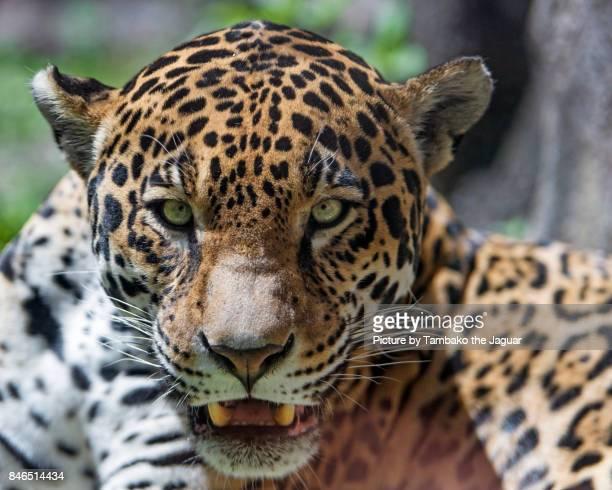 Portrait of a female jaguar