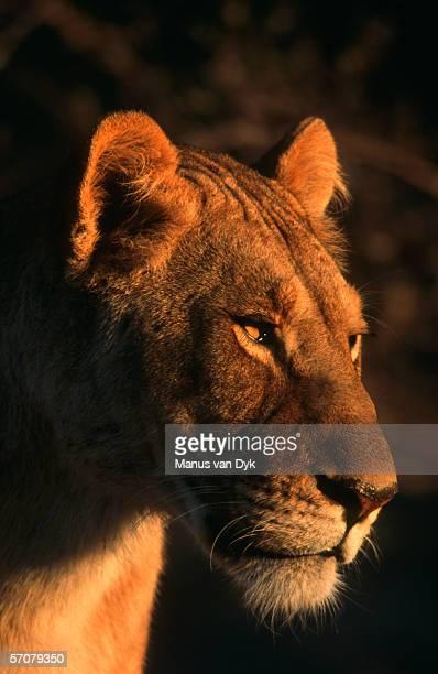 portrait of a female lion (panthera leo) - 自然保護区 ストックフォトと画像