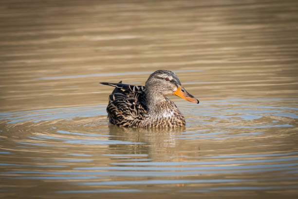 Portrait Of A Female Mallard On A Lake Looking At Photographer
