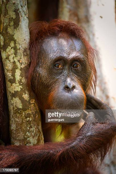 Portrait of a female Orang Utan, wildlife shot
