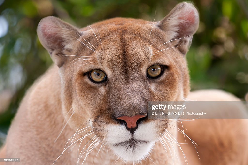 Portrait of a female Panther : Stock Photo