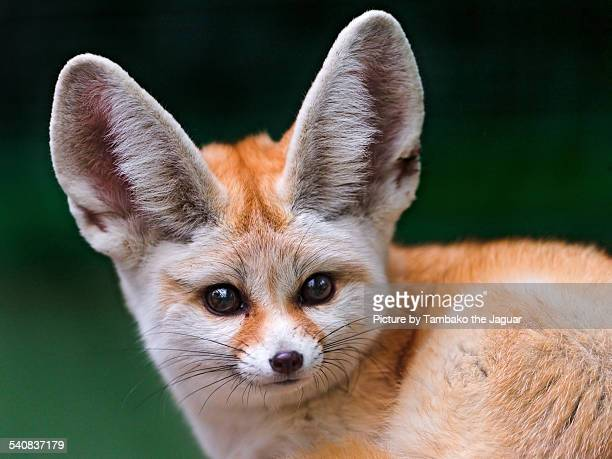 portrait of a fennec - fennec fox stock photos and pictures