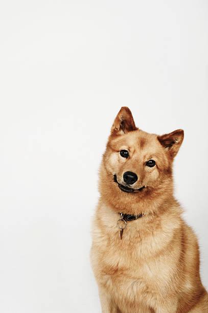 Portrait Of A Finnish Spitz Dog Smiling Wall Art