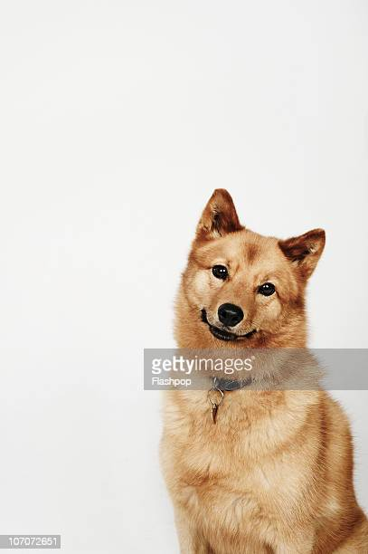 Portrait of a Finnish Spitz dog smiling