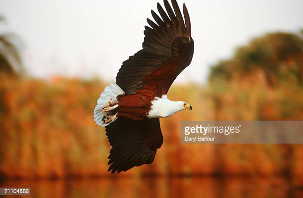 Portrait of a Fish Eagle (Haliaeetus vocifer) in Flight