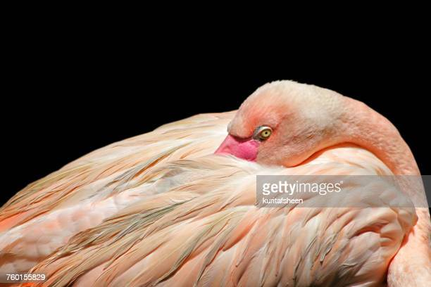 Portrait of a flamingo bird preening its feathers, Africa