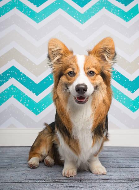 Portrait Of A Fluffy Corgi Wall Art
