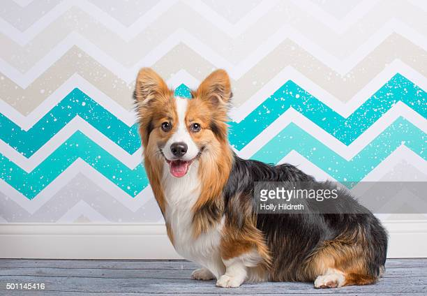 Portrait of a fluffy corgi