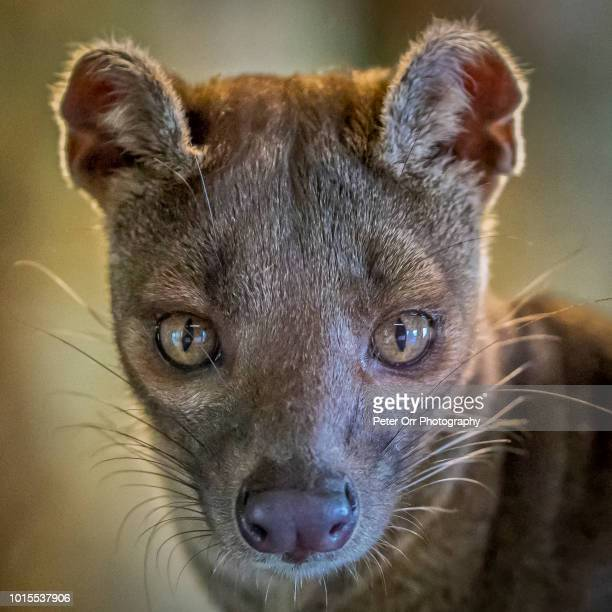 portrait of a fossa, cryptoprocta ferox, a madagascan mammal - fossa stock photos and pictures