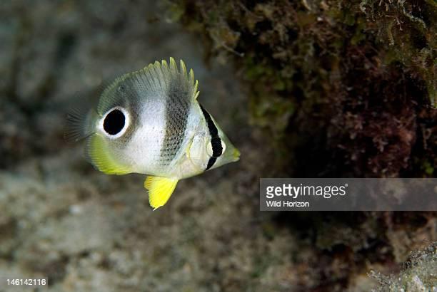 Portrait of a foureye butterflyfish juvenile Chaetodon capistratus Caracasbaai Curacao Netherlands Antilles