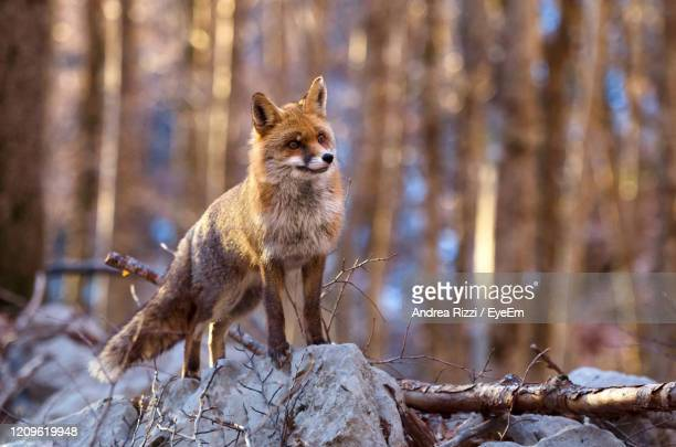 portrait of a fox on snow covered land - andrea rizzi foto e immagini stock