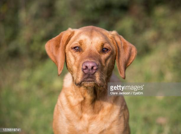 a portrait of a fox red labrador dog outdoors and looking at the camera - snout stock pictures, royalty-free photos & images