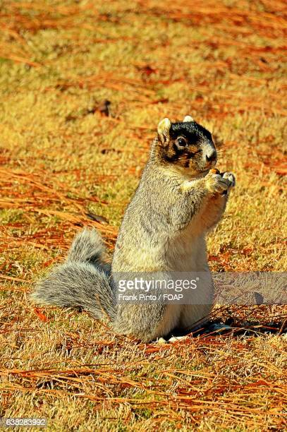 Portrait of a Fox Squirrel