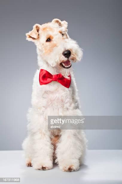 Portrait de Fox-Terrier