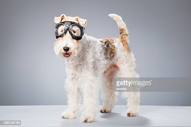 Portrait of a Fox Terrier