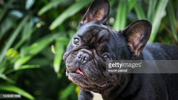 portrait of a french bulldog in a park - bulldog frances imagens e fotografias de stock
