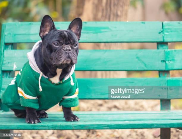 portrait of a french bulldog sitting on a green bench - bulldog frances imagens e fotografias de stock