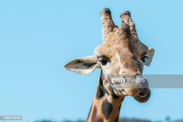 portrait of a funny giraffe licking its nose with weird face - meme stock pictures, royalty-free photos & images