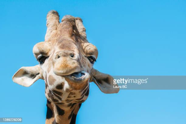 portrait of a funny giraffe looking at camera with weird face - meme stock pictures, royalty-free photos & images