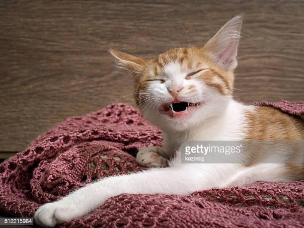 Portrait of a funny kitten. Kitten is laughing. Kitten under a knitted blanket.