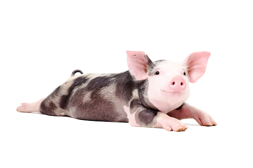 Portrait of a funny little pig, lying with legs outstretched 926092714