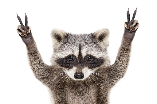 Portrait of a funny raccoon, showing a sign peace, isolated on white background 1138614365
