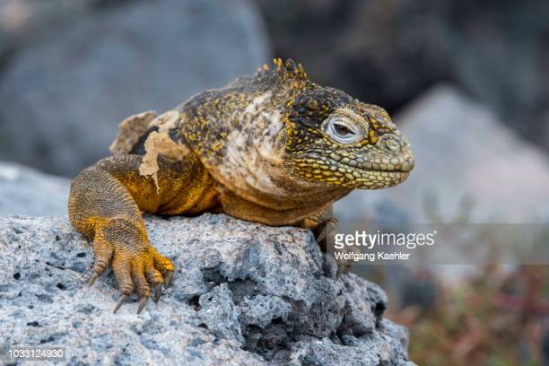 Portrait of a Galapagos land iguana on South Plaza Island in the Galapagos Islands Ecuador