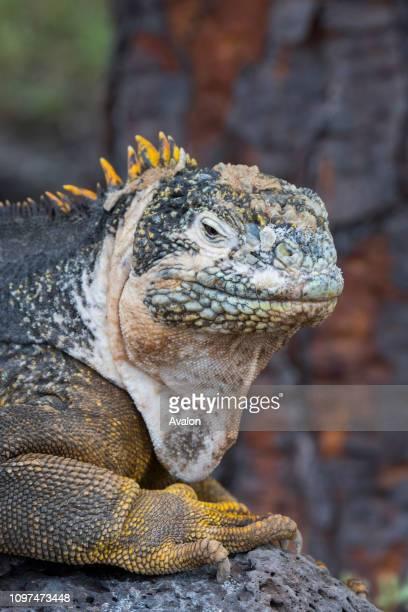 Portrait of a Galapagos land iguana on South Plaza Island in the Galapagos Islands Ecuador