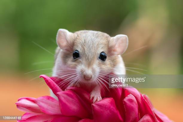 portrait of a gerbil on a tropical flower, indonesia - gerbil stock pictures, royalty-free photos & images