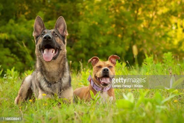 portrait of a german shepherd and an american staffordshire terr - american staffordshire terrier stockfoto's en -beelden