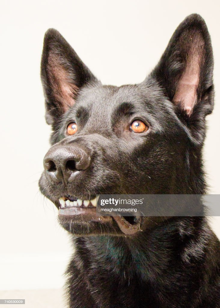 Portrait of a German shepherd dog : Stock Photo