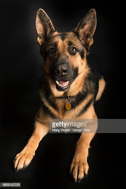 Portrait of a german shepherd on a black background