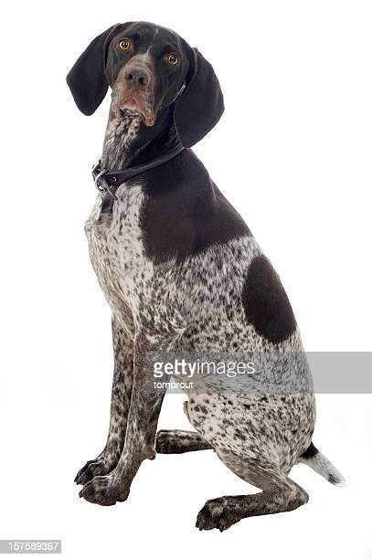 portrait of a german short-haired pointer - german shorthaired pointer stock pictures, royalty-free photos & images