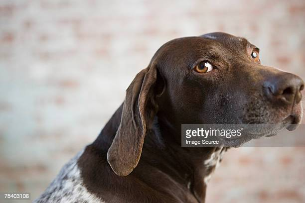 portrait of a german shorthaired pointer - german shorthaired pointer stock pictures, royalty-free photos & images