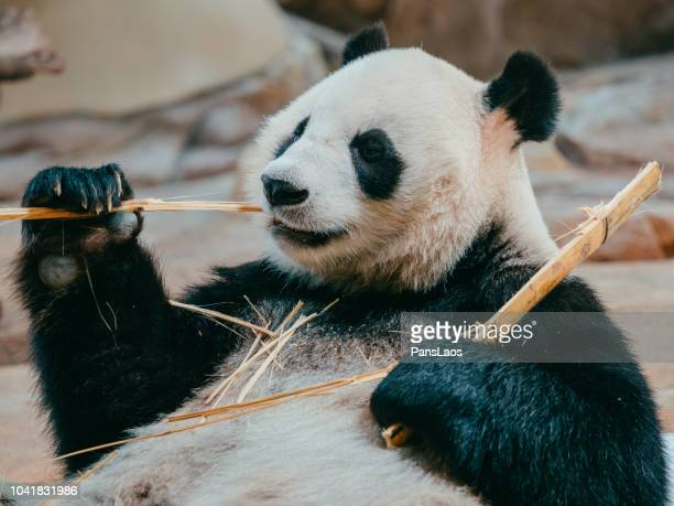 portrait of a giant panda eating bamboo - giant panda stock pictures, royalty-free photos & images