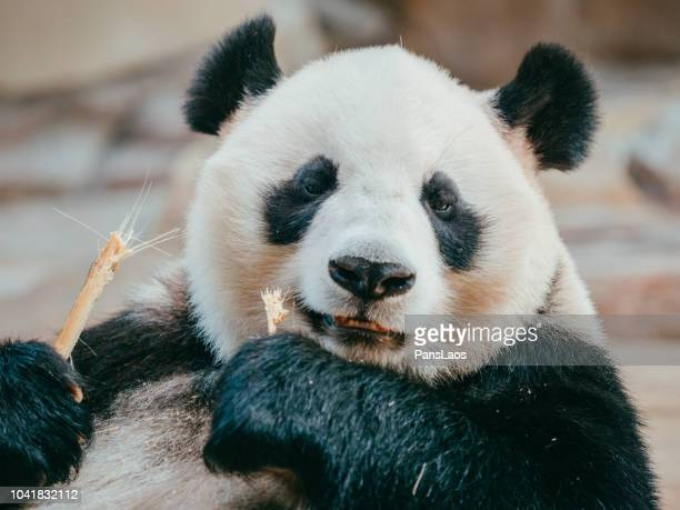 portrait of a giant panda eating bamboo
