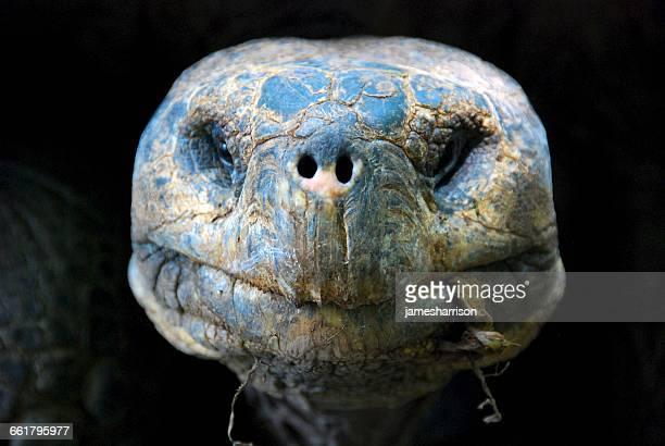 Portrait of a Giant Tortoise, Isla Isabela, galapagos, Ecuador